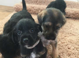 Jackapoo puppies for sale ready now
