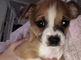 Jackhuahua puppies for sale