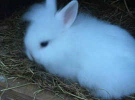 baby dwarf rabbits lionheads ready now, litter trained, well handled, cage, microchipped,