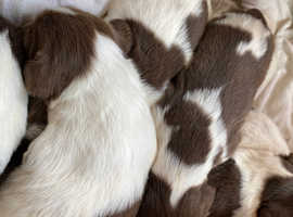5 sproodle puppies