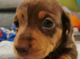 Ready for new homes Miniature dachshund puppies