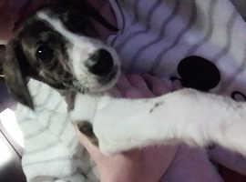 Saluki cross greyhound puppy