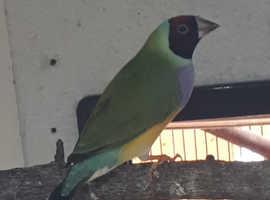 Gouldian finch female