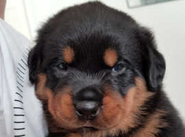 Kc reg champion breed Rottweiler pups