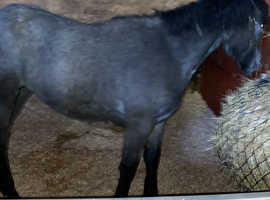 Well bred Connemara filly