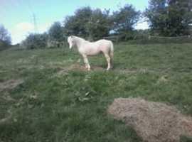 Welsh colt