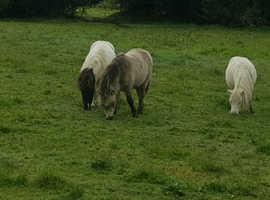Minature shetland buckskin filly SPSBS registered