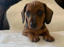 Dashhound lush puppy