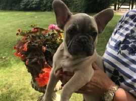 Stunning Kc Reg. French Bulldog Puppies