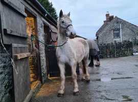 New forest Mare