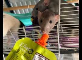 7 female rats (4-6 months) FREE