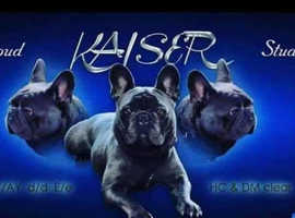 KAISER available... Blue french bulldog stud