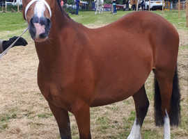 Registered welsh section c mare