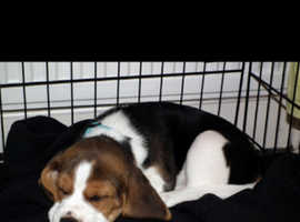 Looking for a beagle pup