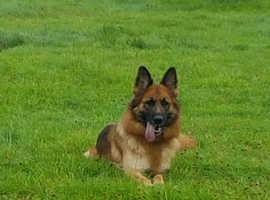 Beautiful female German Shepherd