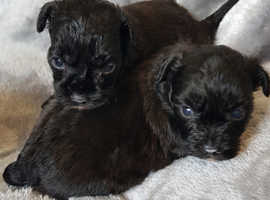 Shihpoo F1 puppies