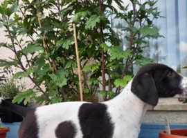 Puppies saluki greyhound x collie whippet grey. Lurchers