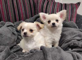 *Chihuahua Pups - Northern Ireland*