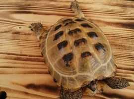 Horsfield tortoises x2 and setup for sale