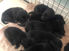 Beautiful Black Labrador Puppies