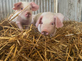 Weaners looking for new homes