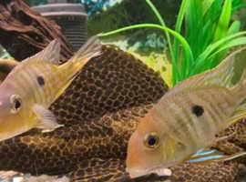 Geophagus cichlid tropical fish