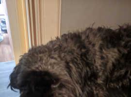 I have 1 shitzu/poodle left