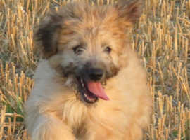 Cadoodle Puppies for sale (Welsh Collie X Toy Poodle)