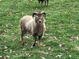 Soay Sheep Flock 1 year old 6 Ewes and 1 Ram