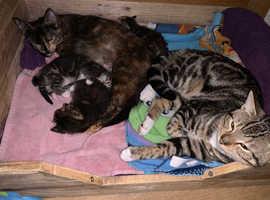 3 beautiful bengal x kittens