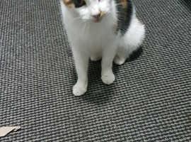 2 yr old calico cat