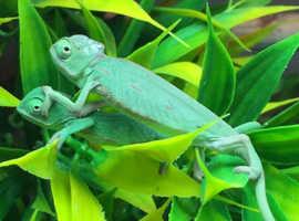 MALE veiled chameleons