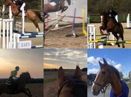 Irish sport horse gelding