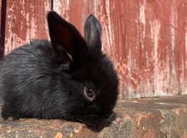 Lionhead black baby bunny