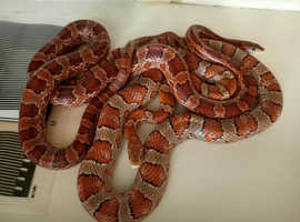 2 Corn snakes and set up