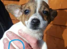 Irish Terrier x Chihuahua x Jack Russell