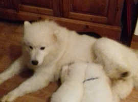 Quality Samoyed Puppies