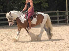 Gorgeous 6 year old cob gelding 12.3hh