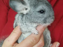 Chinchilla Baby Girl , 3 Months old for sale now in Feltham, TW13
