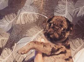 Merle pug puppys