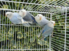 Lovebirds for sale Adults and young