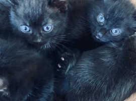 8 Bombay kittens 2 boys 6 girls