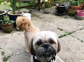 Muzzle shih Tzu stud dog