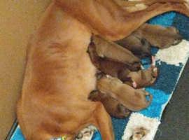 Saluki greyhound puppies