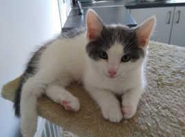 2 Beautiful White/ Grey Kittens
