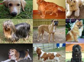 DOG WALKER/sitter available!