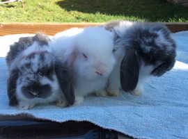 3 Adorable Dwarf Lop Baby Rabbits
