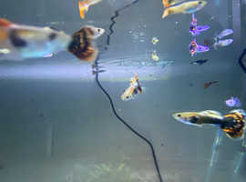Young platinum red tail guppies/young BigEar Mosaic guppies
