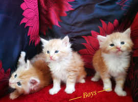 Maine Coon kittens boys
