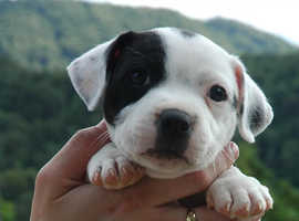 Staffordshire Bull Terrier Dogs & Puppies For Sale & Rehome